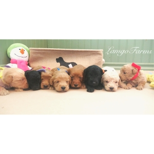 Mini Goldendoodle Monthly | of Lamgo Farms | Page 4